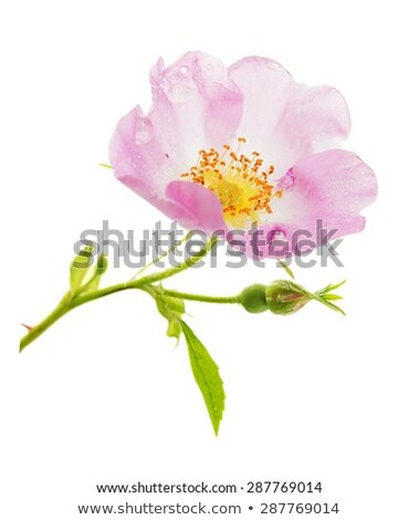 Red Rose With Green Leaves And Water Drops Isolated On White Bac Stok fotoğraf © Epitavi