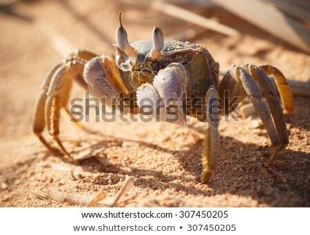Red Sea ghost crab, Ocypode saratan Stock photo © Supertrooper