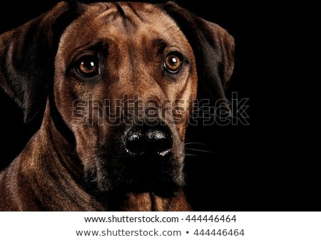 Beautiful rhodesian ridgeback in a dark photo studio Stock photo © vauvau