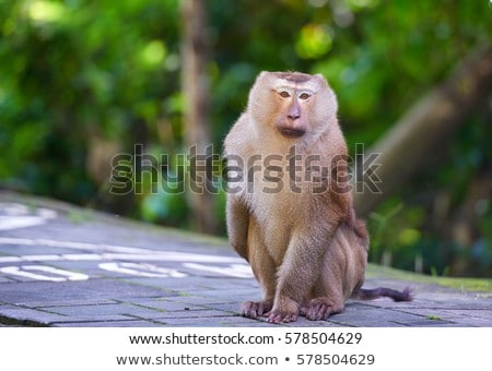 A macaca monkey, Khao Toh Sae Viewpoint on the Highest Hill in Phuket, Thailand Stock photo © galitskaya
