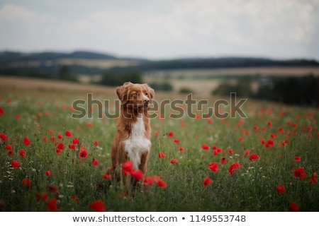 Man and dog in poppie field Stock photo © ivonnewierink