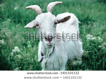 Goat on a green meadow Stock photo © chrisroll