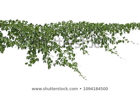 Green creeper on tree Stock photo © leungchopan
