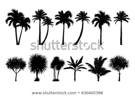 Palmboom silhouet gedetailleerd illustratie vector Stockfoto © derocz