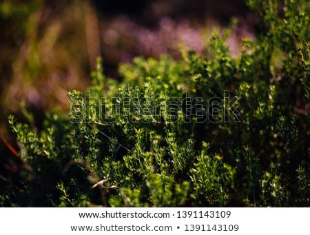 Wild Thyme in landscape Stock photo © ivonnewierink