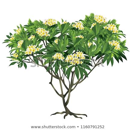 White plumeria on the plumeria tree. Stock photo © teerawit