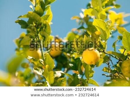 lemon tree over blue sky Stock photo © dolgachov