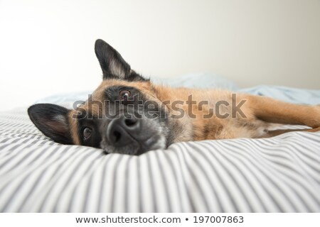 Curious dog on bed looking at camera Stock photo © vkstudio