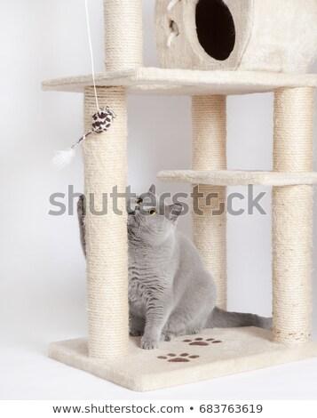 Vicces brit rövidszőrű kiscica játék macska Stock fotó © Illia