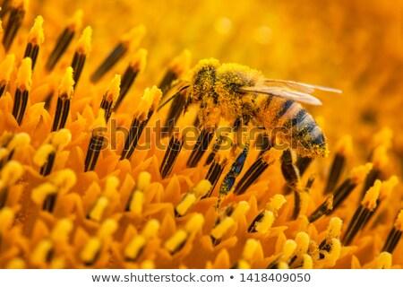ミツバチ カバー 花粉 ヒマワリ 空 太陽 ストックフォト © Frankljr