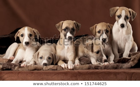 two whippet puppy dogs stock photo © eriklam