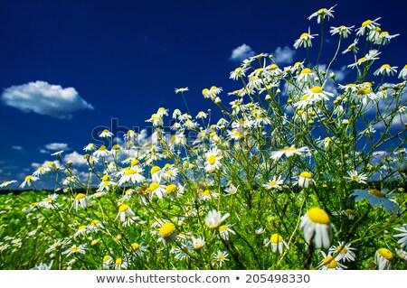 Stockfoto: Splendid Camomiles Against Blue Sky Background