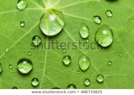 Rain drop on lotus leaf  stock photo © sasilsolutions