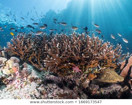 Acropora Coral  Stock photo © photohome