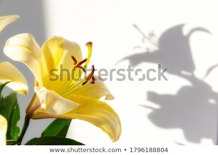 yellow lily in bloom stock photo © artush