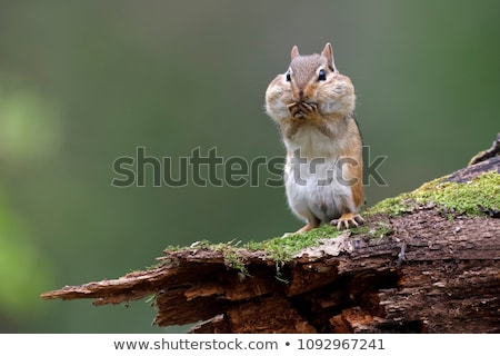 çizgili sincap doğa orman dışında yaban hayatı Stok fotoğraf © brm1949