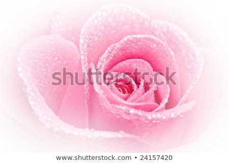 közelkép · makró · rózsa · rügy · narancs · esküvő - stock fotó © bsani