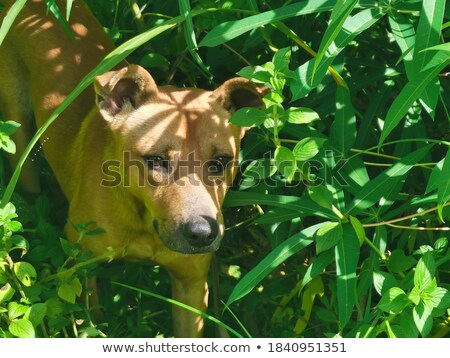 Siberian Husky dog breed is hiding in the bushes Stock photo © SKVORTSOVA