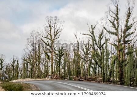 australian eucalyptus gumtree forest after bushfire stock photo © byjenjen