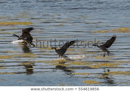 Canada ganzen landing partij natuur Stockfoto © ca2hill