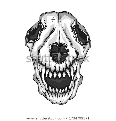 волка · череп · изолированный · зубов · мертвых · скелет - Сток-фото © taviphoto