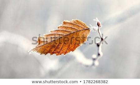 Frosty Autumn Leaves Stock photo © emattil