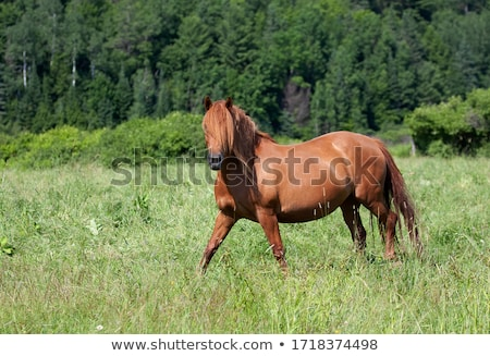 Brown Horse Walking Through a Pasture Stock photo © rhamm