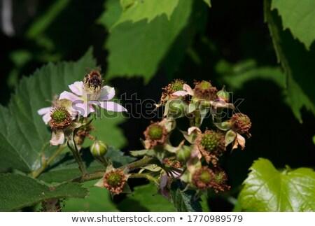 Arı oturma çiçek böğürtlen beyaz doğa Stok fotoğraf © thomaseder