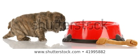 very small english bulldog puppy walking up to large dog food dish stock photo © willeecole