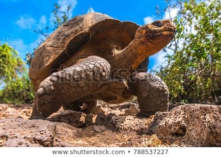 Reus schildpad Ecuador eilanden voedsel Stockfoto © pxhidalgo