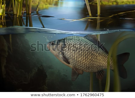 Freshwater Carp fish Stock photo © bbbar