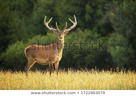 szarvas · ősz · erdő · fű · piros · fiatal - stock fotó © arrxxx