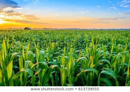 Maïs domaine vert ciel bleu blanche nuages Photo stock © Johny87