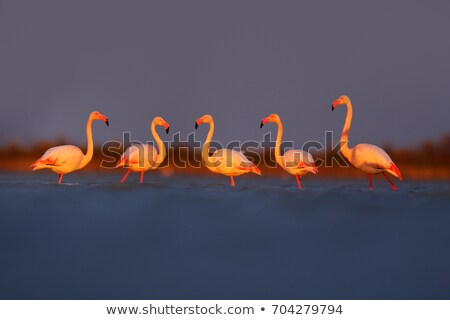 Greater flamingo (Phoenicopterus ruber) Stock photo © dirkr