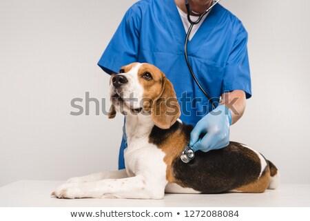 Beagle dierenarts oor vrouw hond dier Stockfoto © ivonnewierink