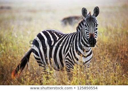 zebra portrait in the sunset stock photo © morrbyte