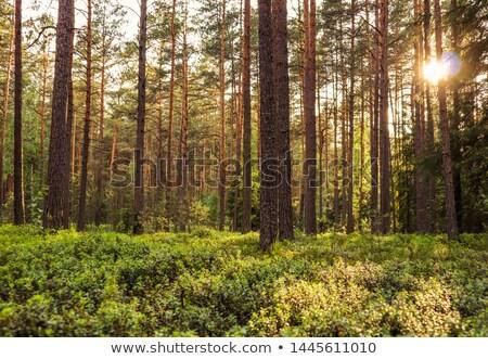 Kiefer Wald golden Sonnenlicht Kiefer Sonnenuntergang Stock foto © szefei