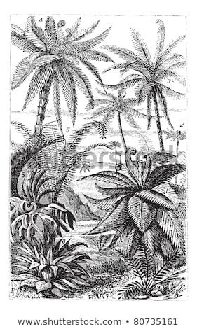 arborescent ferns vintage engraved illustration stock photo © morphart