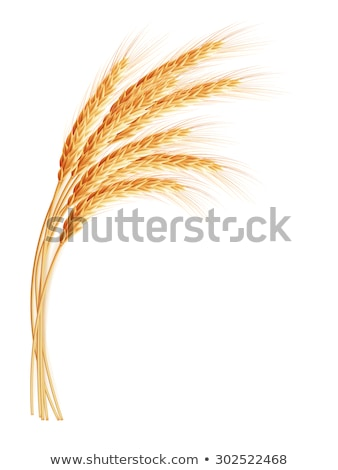Wheat ears with space for text. EPS 10 Stock photo © beholdereye