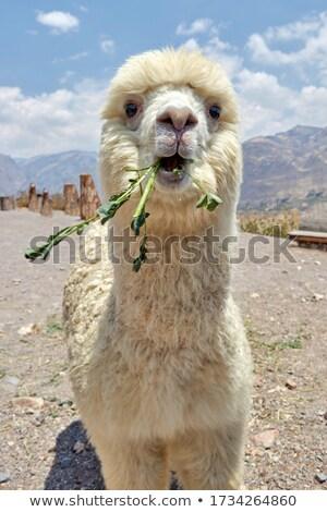 alpaca head stock photo © hofmeester