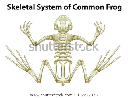 Skeletal system of a common frog Stock photo © bluering