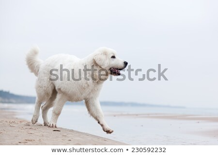 cute white dog playing on the beach polish tatra sheepdog stock photo © photocreo