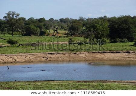 víziló · Afrika · díszlet · Uganda · víz · természet - stock fotó © simoneeman