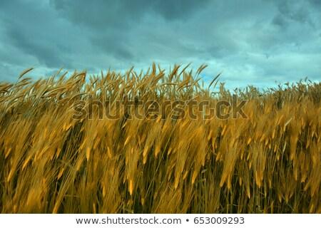 緑 トウモロコシ畑 嵐の 空 太陽光線 ストックフォト © photosebia