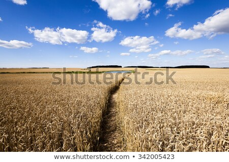 lane through the wheat field stock photo © joyr