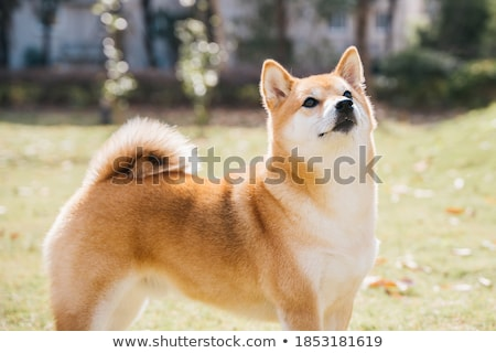 A young shiba inu sits in green garden. Stock photo © user_11224430