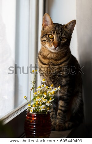 Little Bengal cat with daisy Stock photo © Lana_M