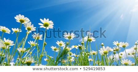 girassóis · blue · sky · céu · flor · jardim - foto stock © karin59