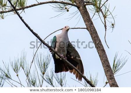 Nieuwsgierig duif naar naar beneden bladeren Stockfoto © shutter5
