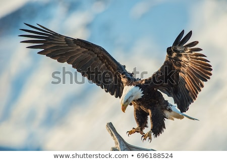 Eagle Bird Swooping Stock photo © Krisdog